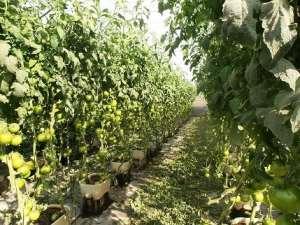 poda de tomatera 053-min