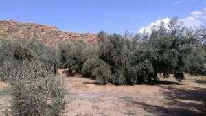 olivar-min